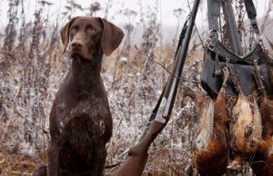 Правила охоты с собаками