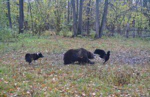 Состязание-по-медведю