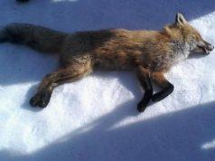 бешеная лисица