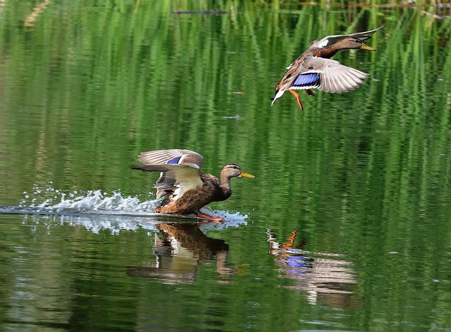 Видео про охоту на уток весной фото 524-128