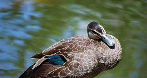 весенняя охота на уток с подсадной