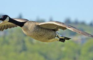 охота на гуся весной видео