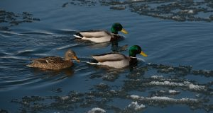 охота на утку весной видео