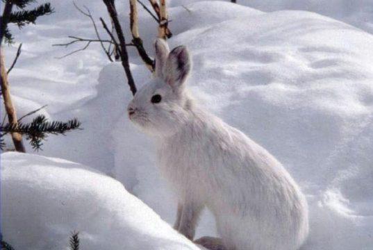 Нагонка гончей по зайцу