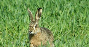 нагонка молодой гончей по зайцу