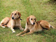 русские гончие собаки нагонка