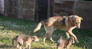 Русская гончая с щенками