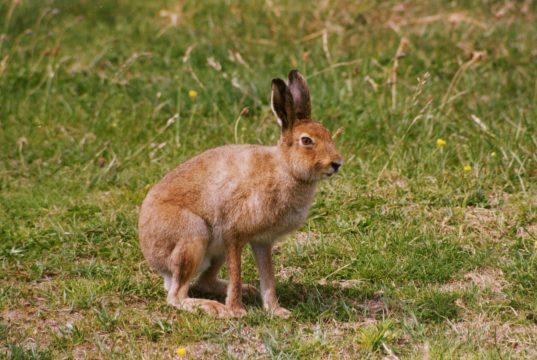 Где живут и чем питаются зайцы