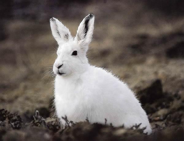 Чем питается заяц-беляк