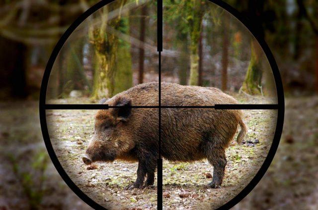Особенности охоты на кабана