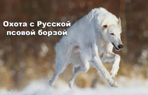 Охота с русской псовой борзой поздней осенью по снегу