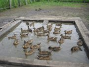 Разведение подсадных уток