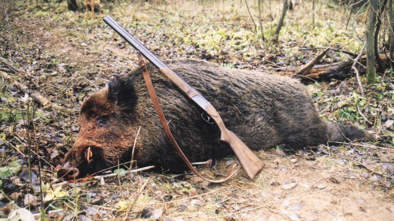 Все об охоте на кабана