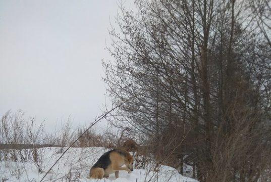 Прогулка с гончими