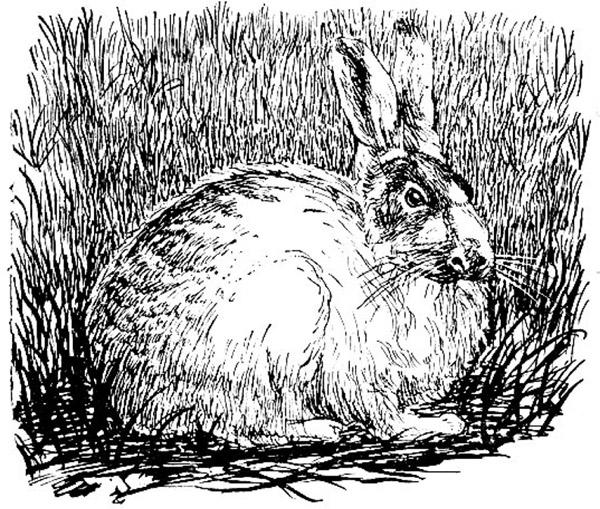Линяющий заяц-беляк