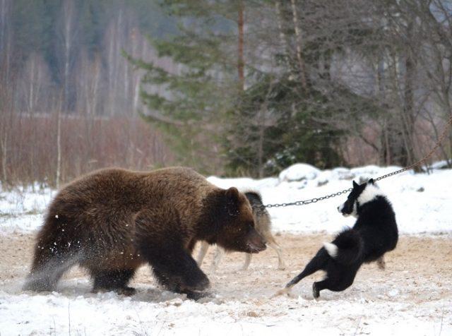 Состязание охотничьих собак по медведю