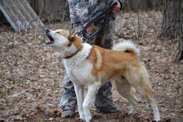 Kомплексные состязания собак