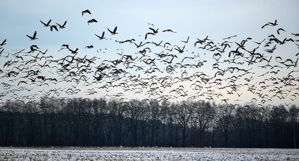 Разбираемся в тонкостях охоты на гуся весной