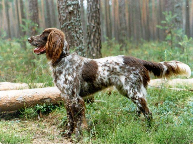Натаска легавых собак в Московской области
