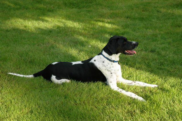Натаска легавых собак