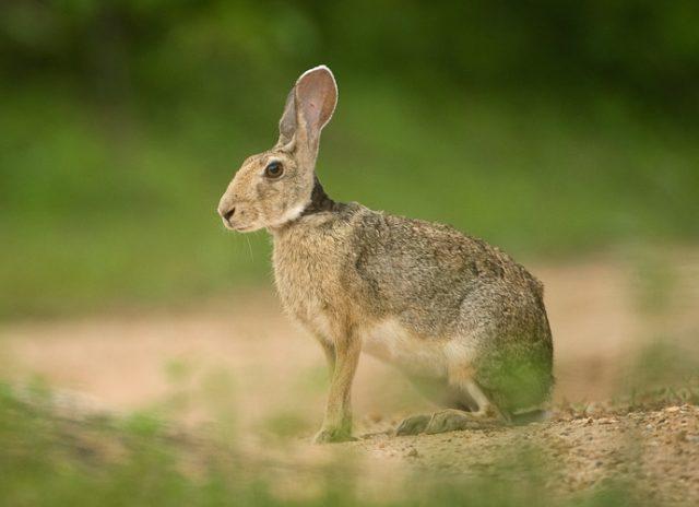 Виды зайцев