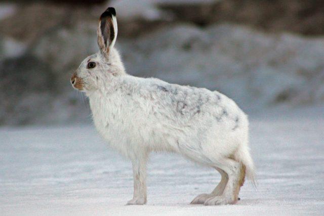 Солонец на зайцев