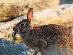 как сделать ловушку для зайцев
