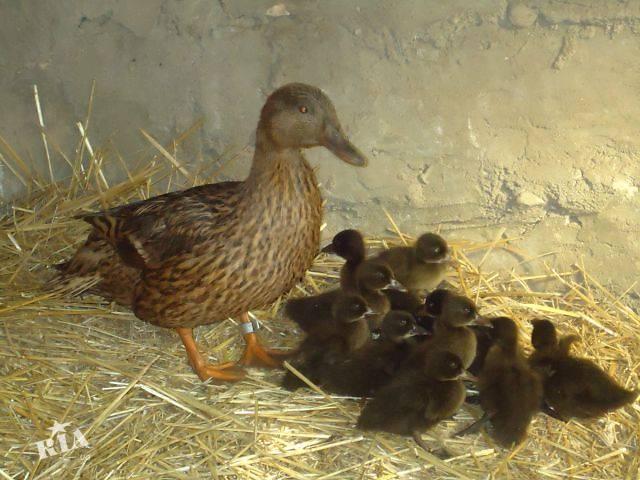 Подсадные утки: выращивание и уход